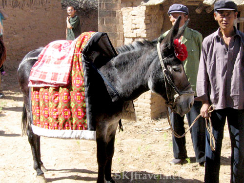 A small donkey has a quilt and blanket on his back and a red paper bow on his forehead, dressed to carry a bride to her husband's yao, in a village in Shaanxi Province, China. Photo by Shara Johnson