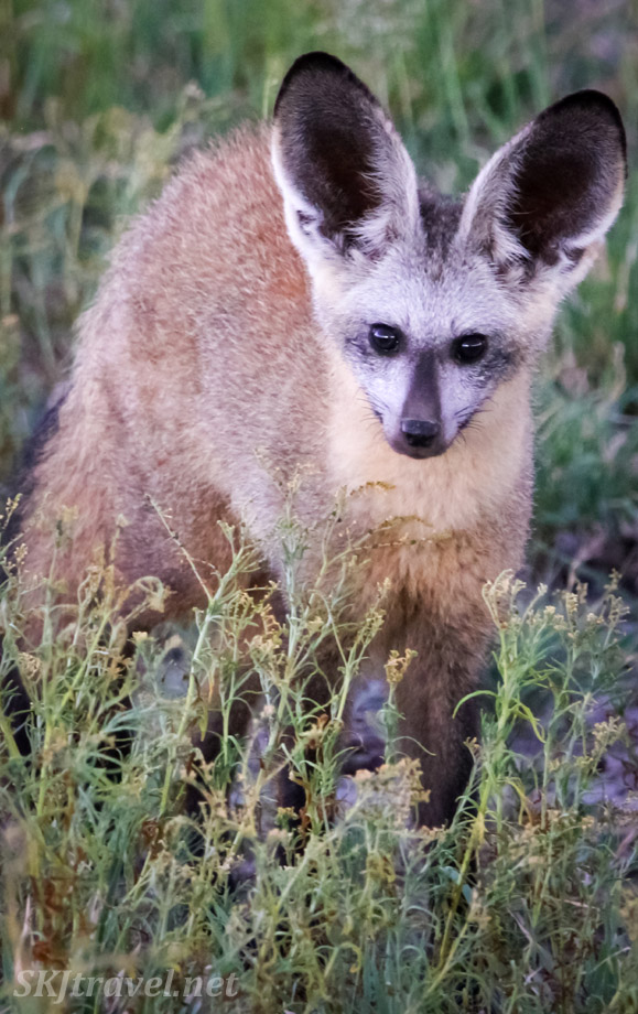 Bat eared fox, Central Kalahari Game Reserve, Botswana.