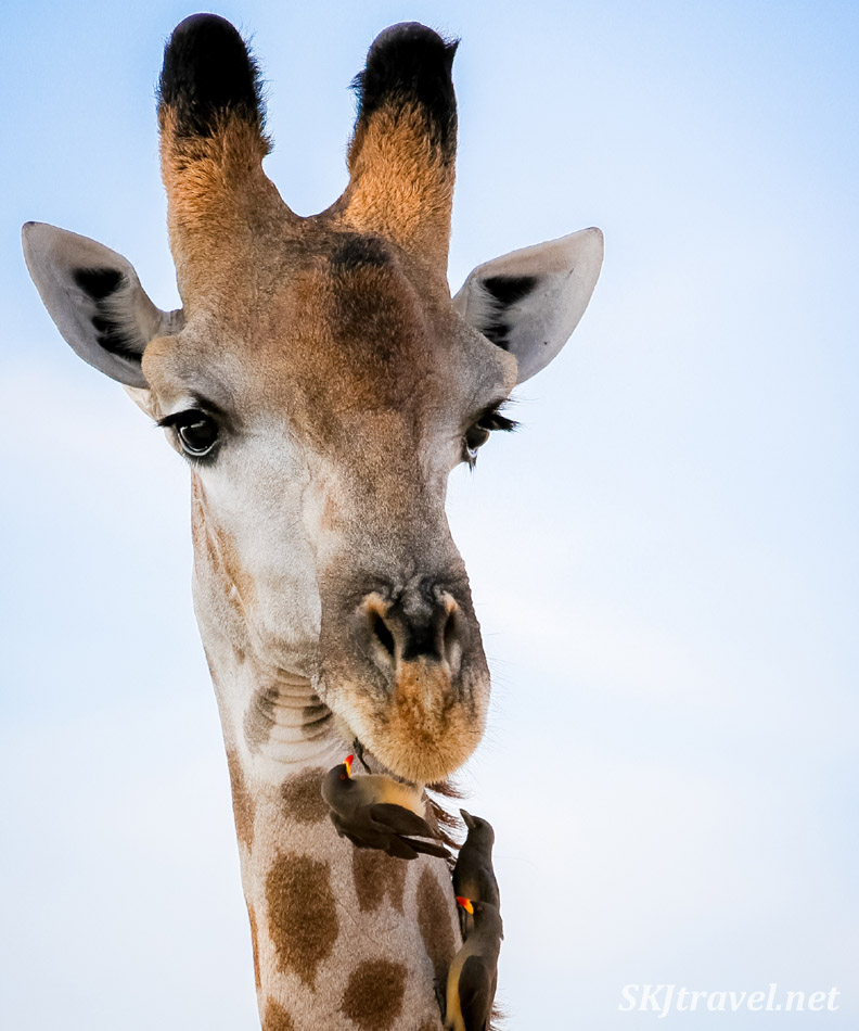 Giraffe with oxpecker on its chin. Nxai Pan, Botswana.