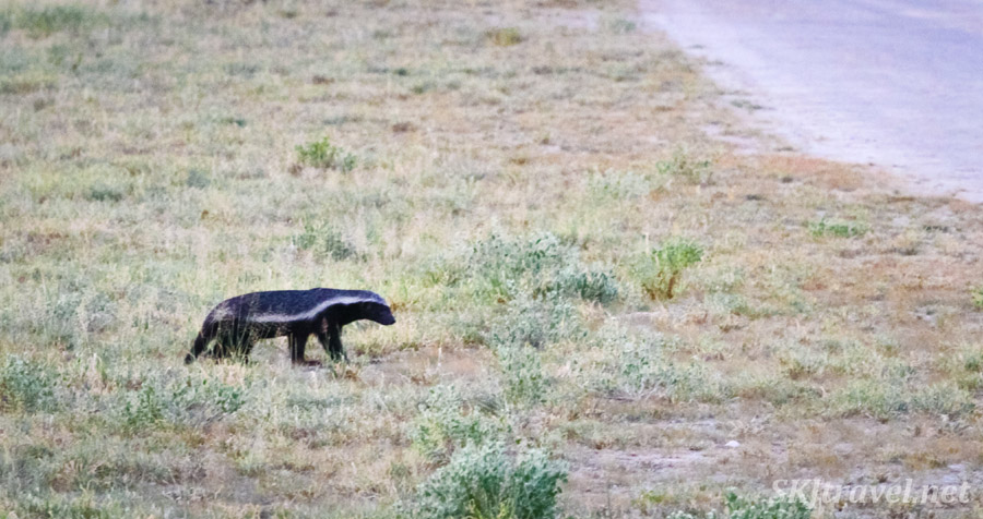 Honey badger in the Central Kalahari Game Reserve, Botswana.