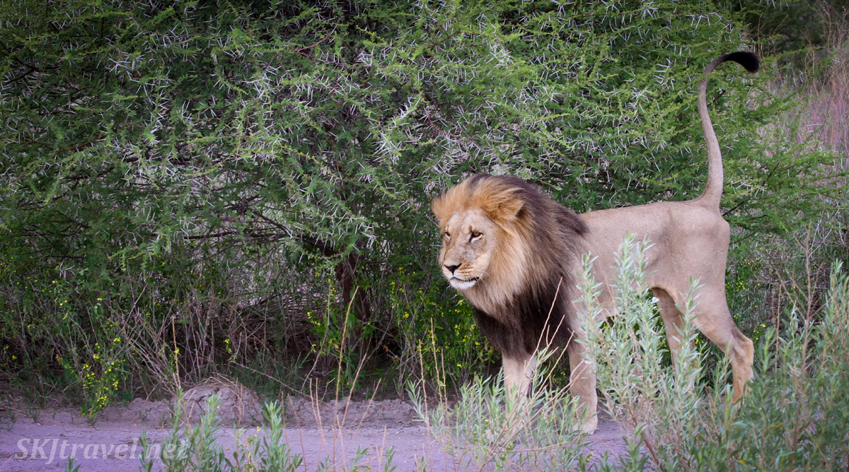 Male lion marking some territory by spraying urine, Nxai Pan, Botswana.