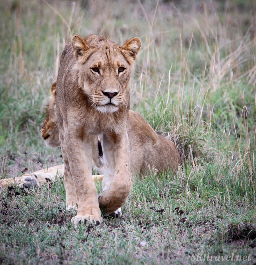 Young male lion approaching. Nxai Pan, Botswana.