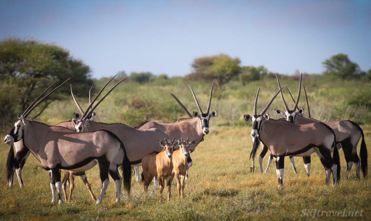 Two baby oryx (gemsbok) with their herd in the Central Kalahari Game Reserve, Botswana.