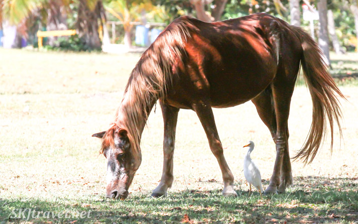 A feral horse grazing near the beach on Vieques Island, Puerto Rico.