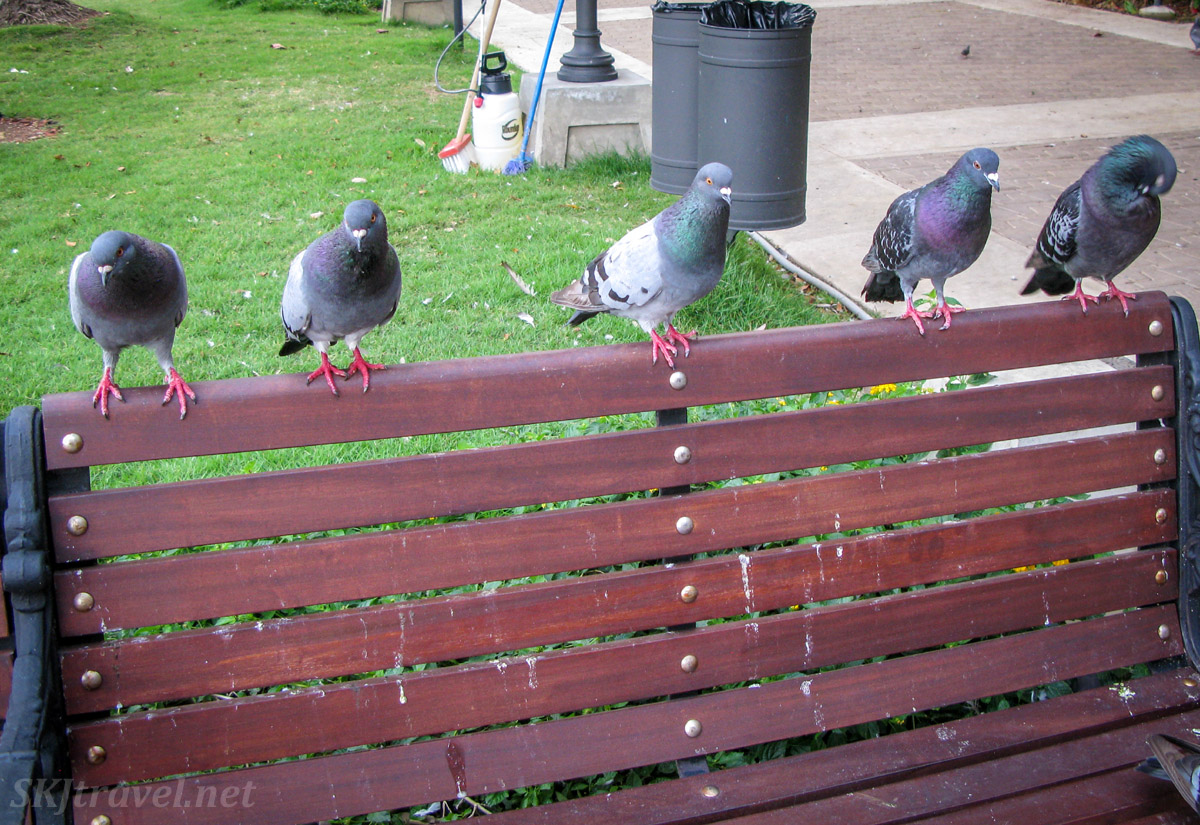 Park bench occupied by a row of pigeons, Old San Juan, Puerto Rico.