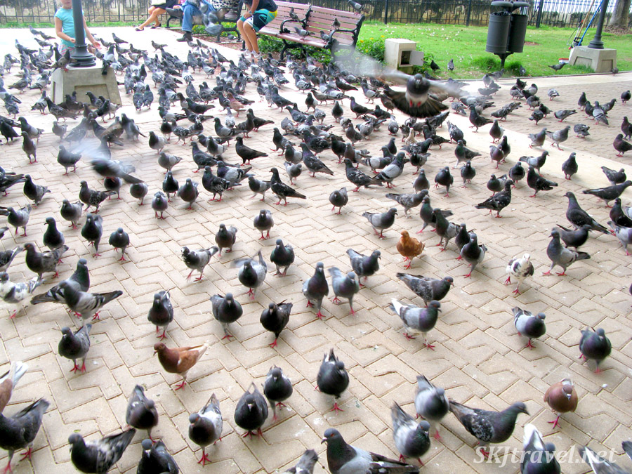 Mass of pigeons at a park in Old San Juan, Puerto Rico.