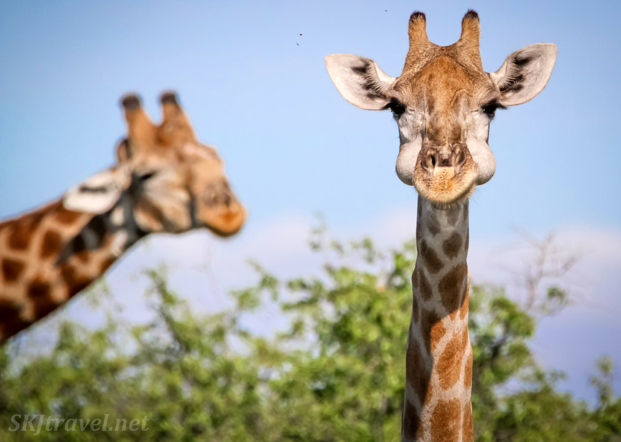 Young giraffe with a silly expression. Central Kalahari Game Reserve, Botswana.