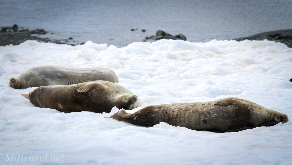 Seals relaxing on the snow. Antarctica.