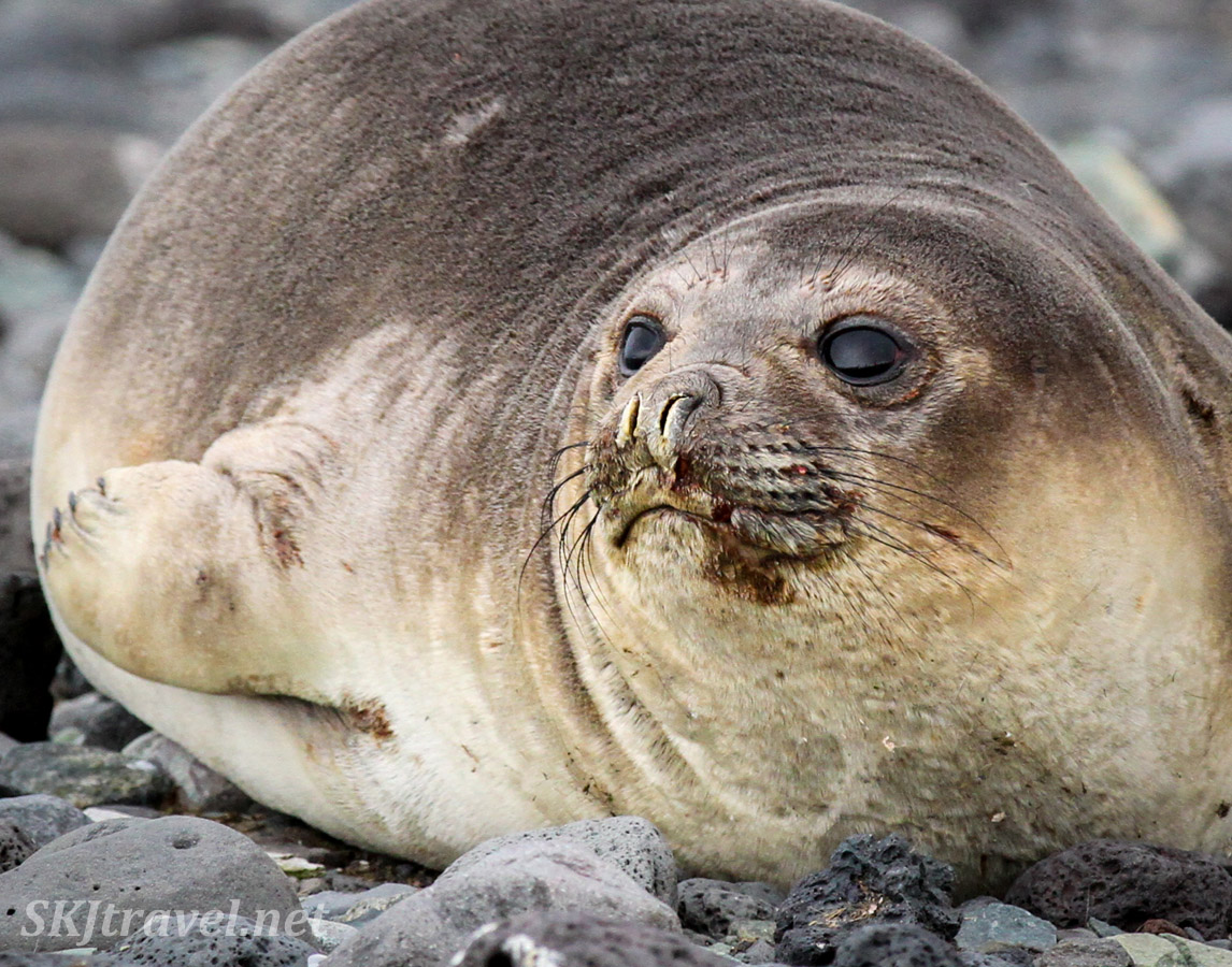 Seal with wound on his face. Antarctica.