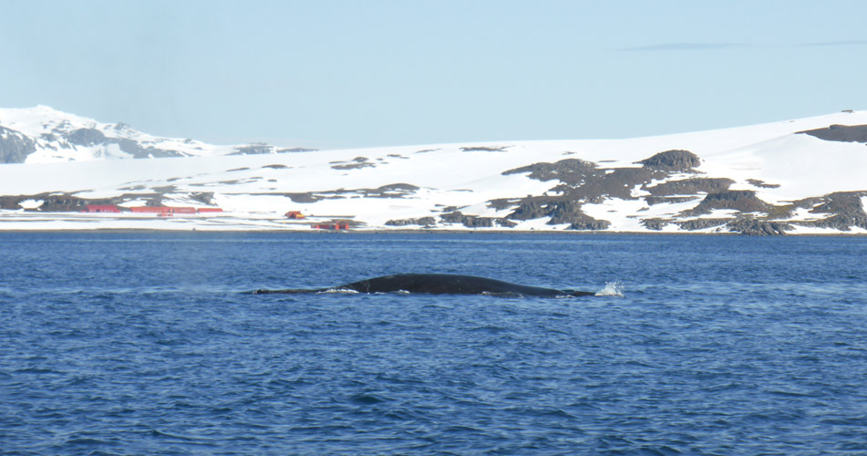 Humpback whales in the water at Barrientos Island, South Shetland Islands.