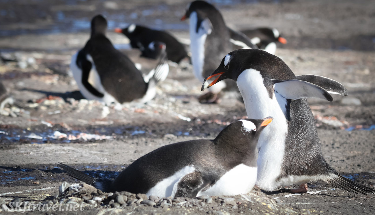 Gentoo penguin carrying a stone back to his nest. Antarctica.