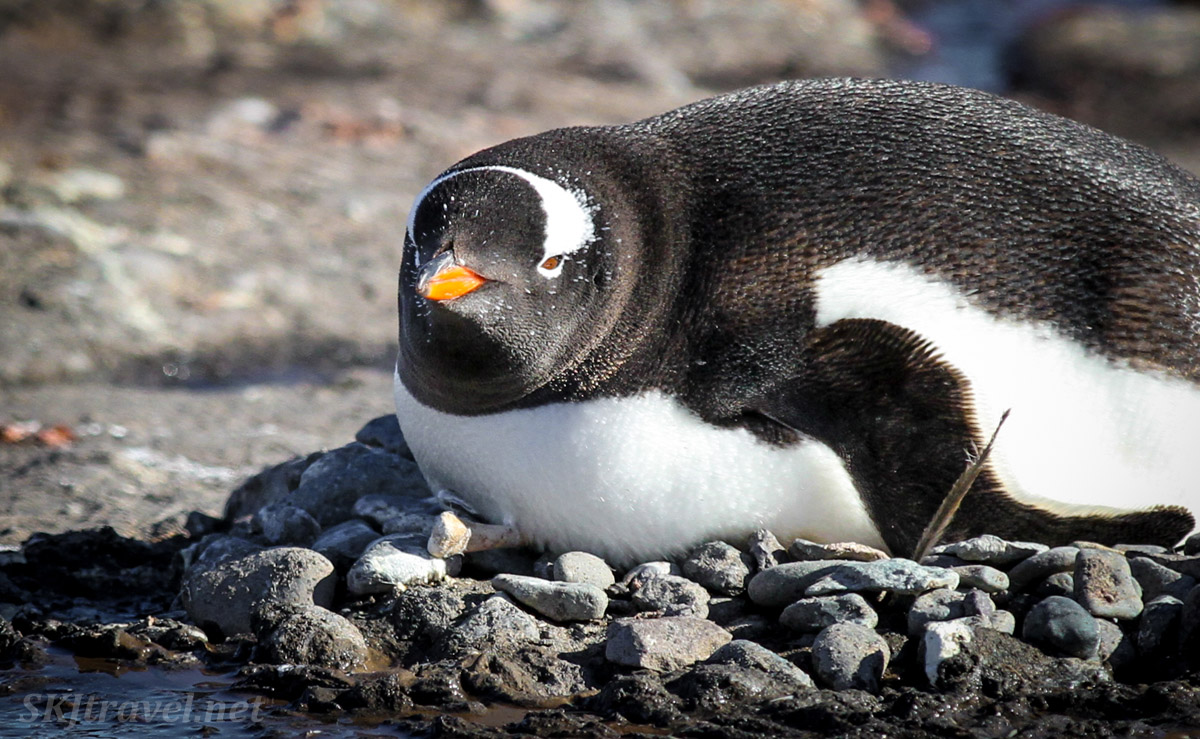 Gentoo penguin on its nest with a bone in it. Antarctica.
