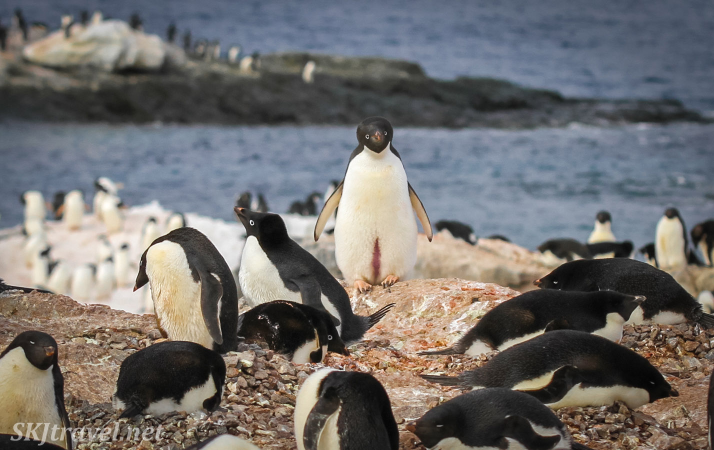 Adelie penguin stands out in the crowd. Gourdin Island, Antarctica.