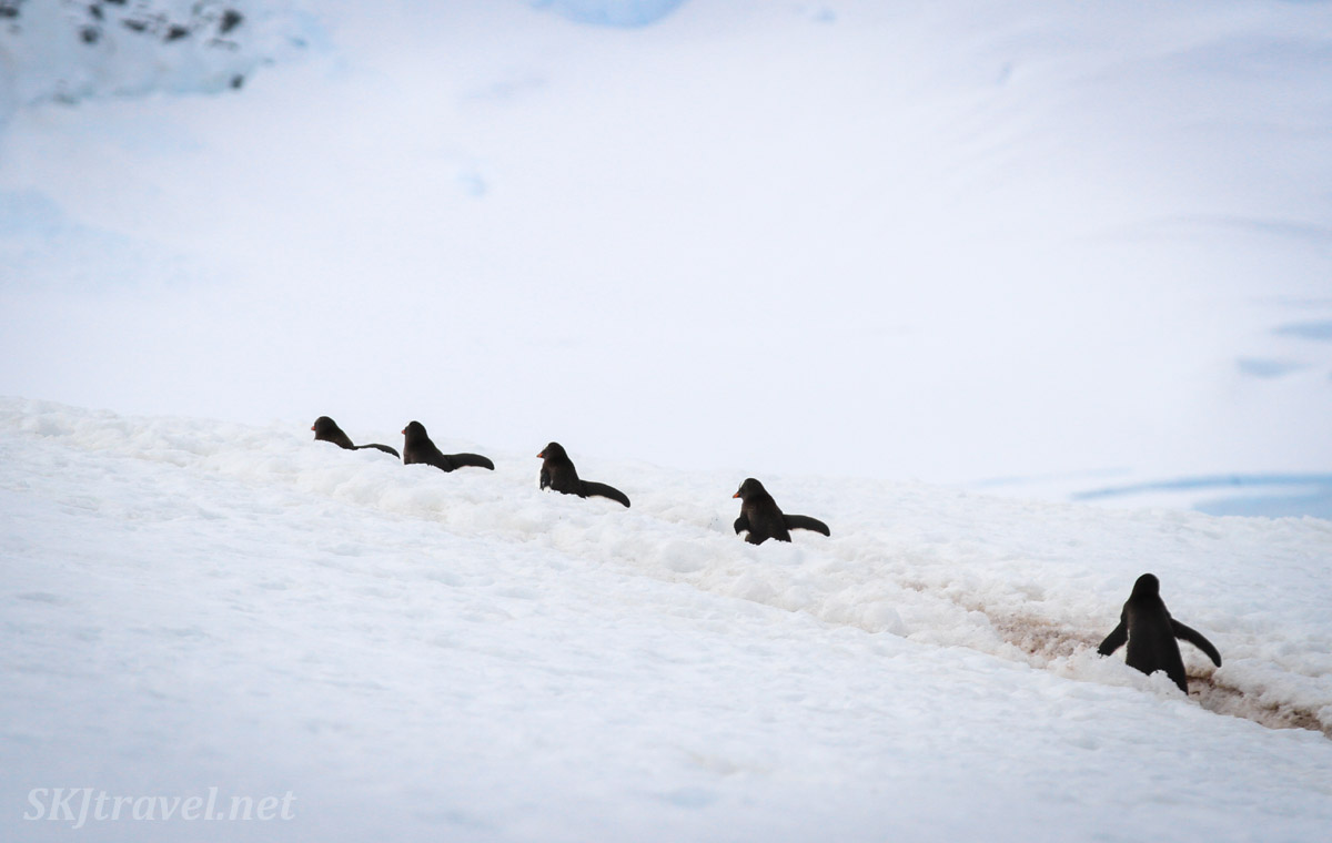 Penguins commuting back to their nests on a penguin highway. Mikkelsen Harbour, Antarctica.