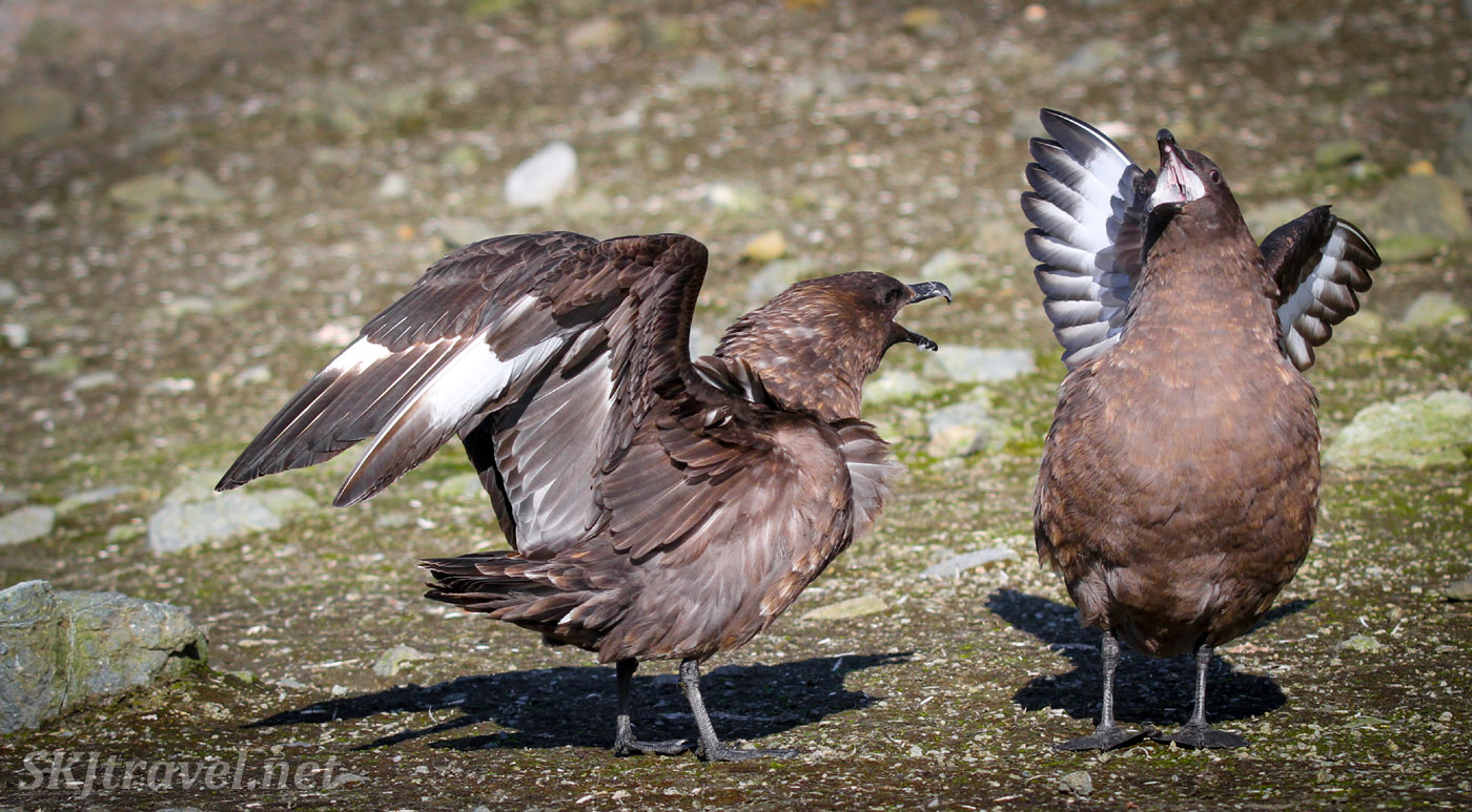 Two skuas on Brown Bluff, South Shetland Islands, one giving the other a good scolding.