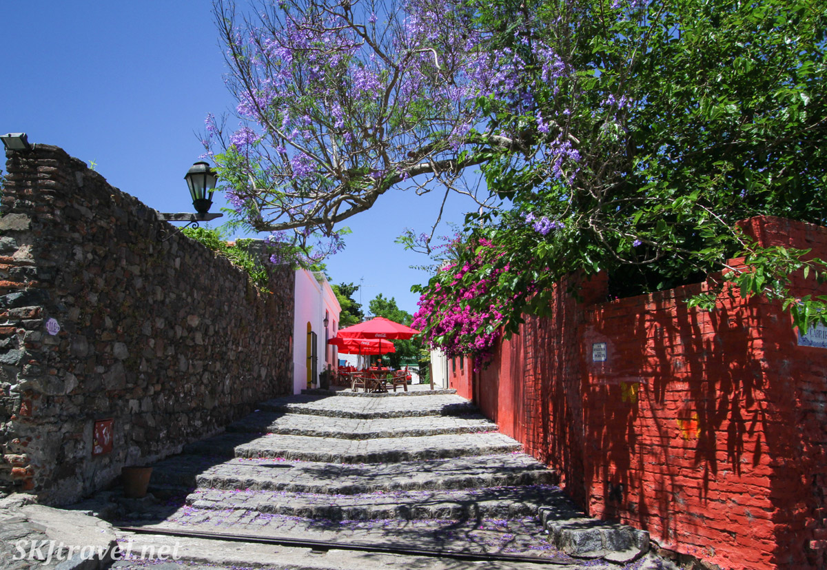 Pink flowering bougainvillea trees populate the streets of Colonia del Sacramento, Uruguay.  Lining an alley stairway.