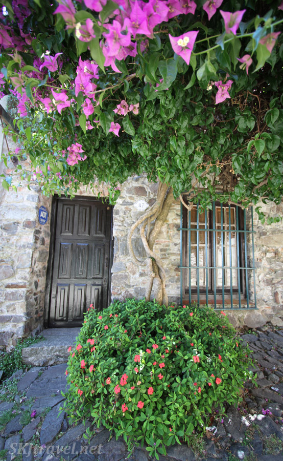 Pink flowering bougainvillea trees populate the streets of Colonia del Sacramento, Uruguay.  Shading the door of a home.
