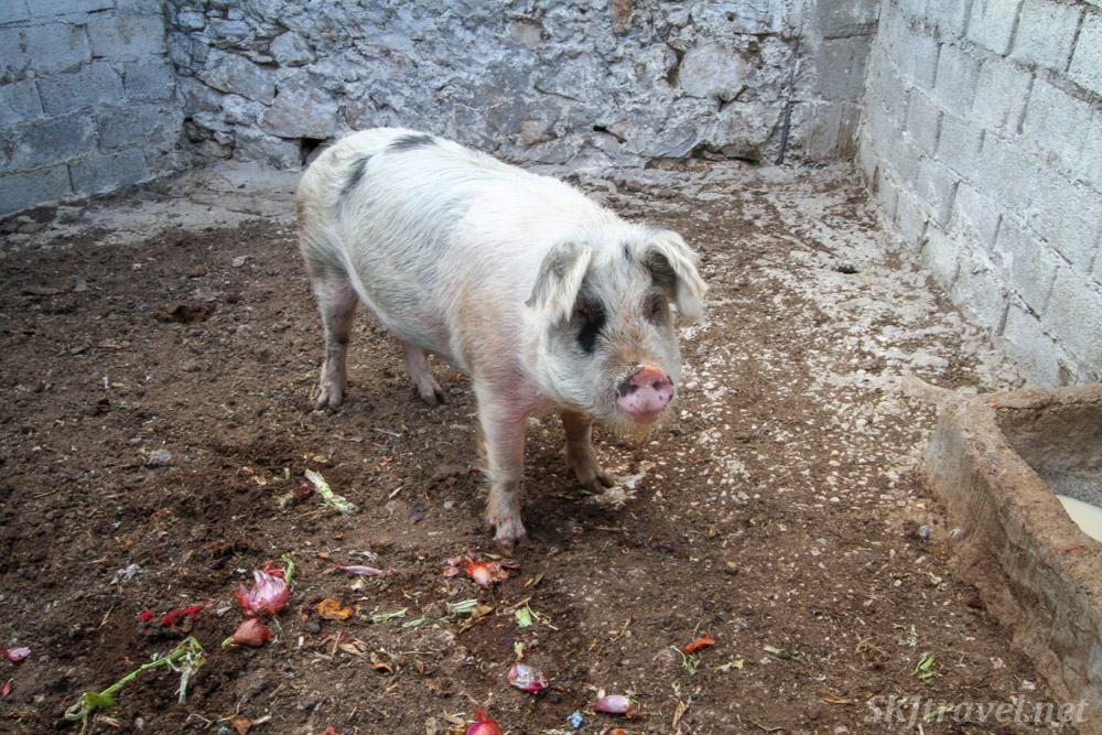A pig! Above Vrontados village, Chios Island, Greece.
