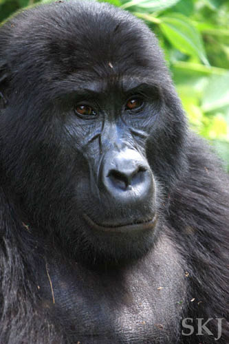 headshot of mountain gorilla