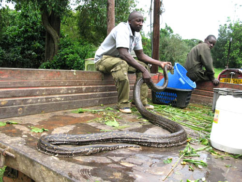 Python loaded into the tractor bed to transport to the snake house at UWEC ... it is dehydrated and very thin for its length. Uganda.