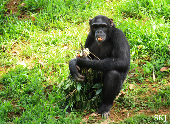 Chimpanzee eating a carrot and hoarding food at the UWEC, Uganda.