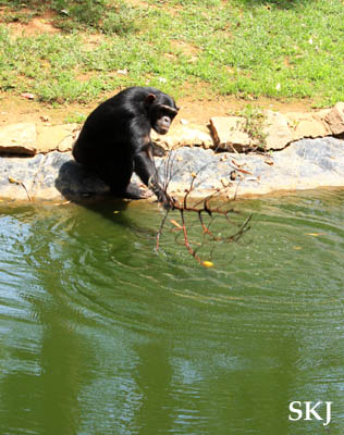 Chimpanzee using a branch as a tool to retrieve fruit floating in a moat at the UWEC, Uganda.