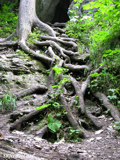 Maze of tree roots.