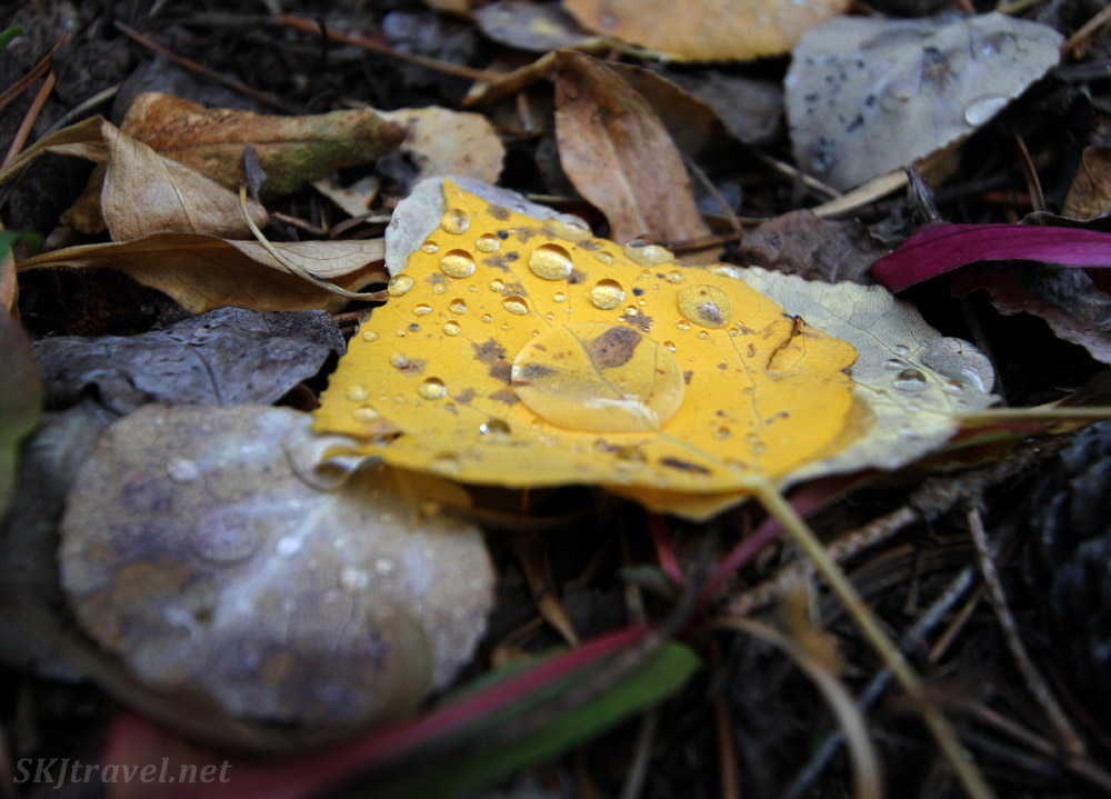 Dew droplets on a golden autumn aspen leaf. Nederland, Colorado.