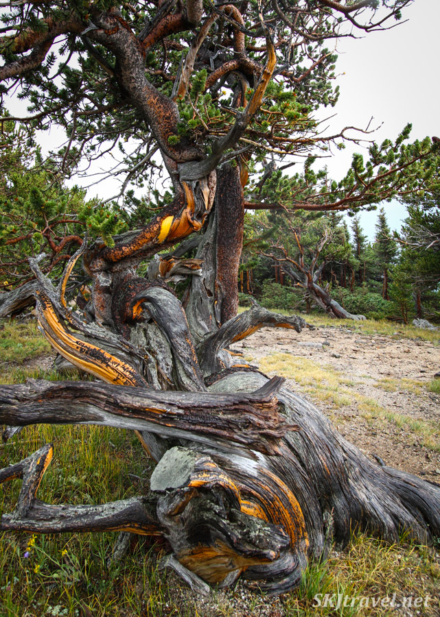 Gnarled tree trunk at the border of treeline along Kingston Peak 4x4 route, Colorado.