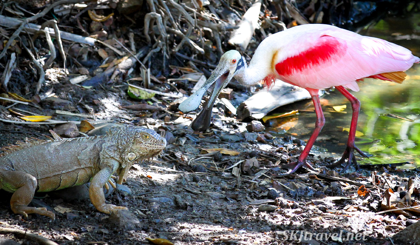 Roseate spoonbill and iguana interacting at Popoyote Lagoon near Playa Linda, Ixtapa, Mexico.