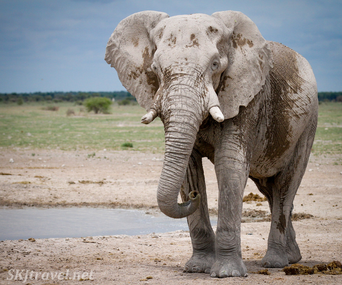 Lone bull elephant approaching me at a waterhole, Nxai Pan, Botswana.