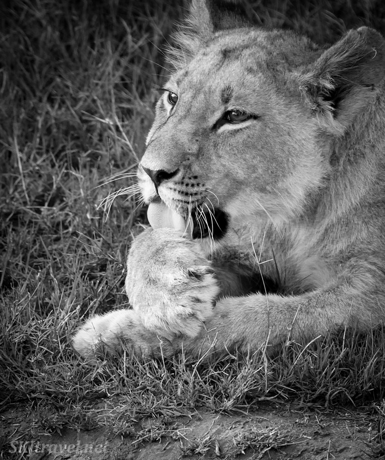 Lion cub licking his paw, Kwai Concessions, Botswana. black and white photography