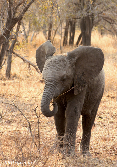 Young elephant eating a twig in the spring forest.