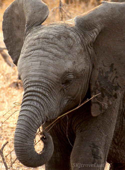 Young elephant eating a twig in the spring forest, close up shot of face. Photo by Shara Johnson