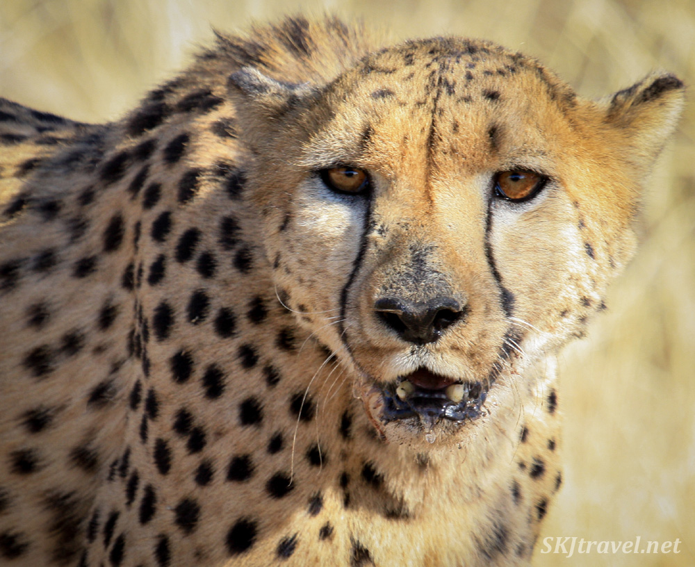 Cheetah at Dusternbrook game farm outside Windhoek, Namibia.