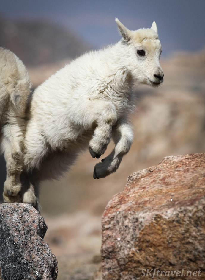 Baby mountain goat at the summit of Mt. Evans, in Rocky Mountains of Colorado.