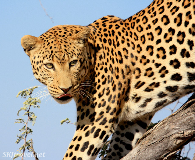 Leopard in a tree, Namibia.