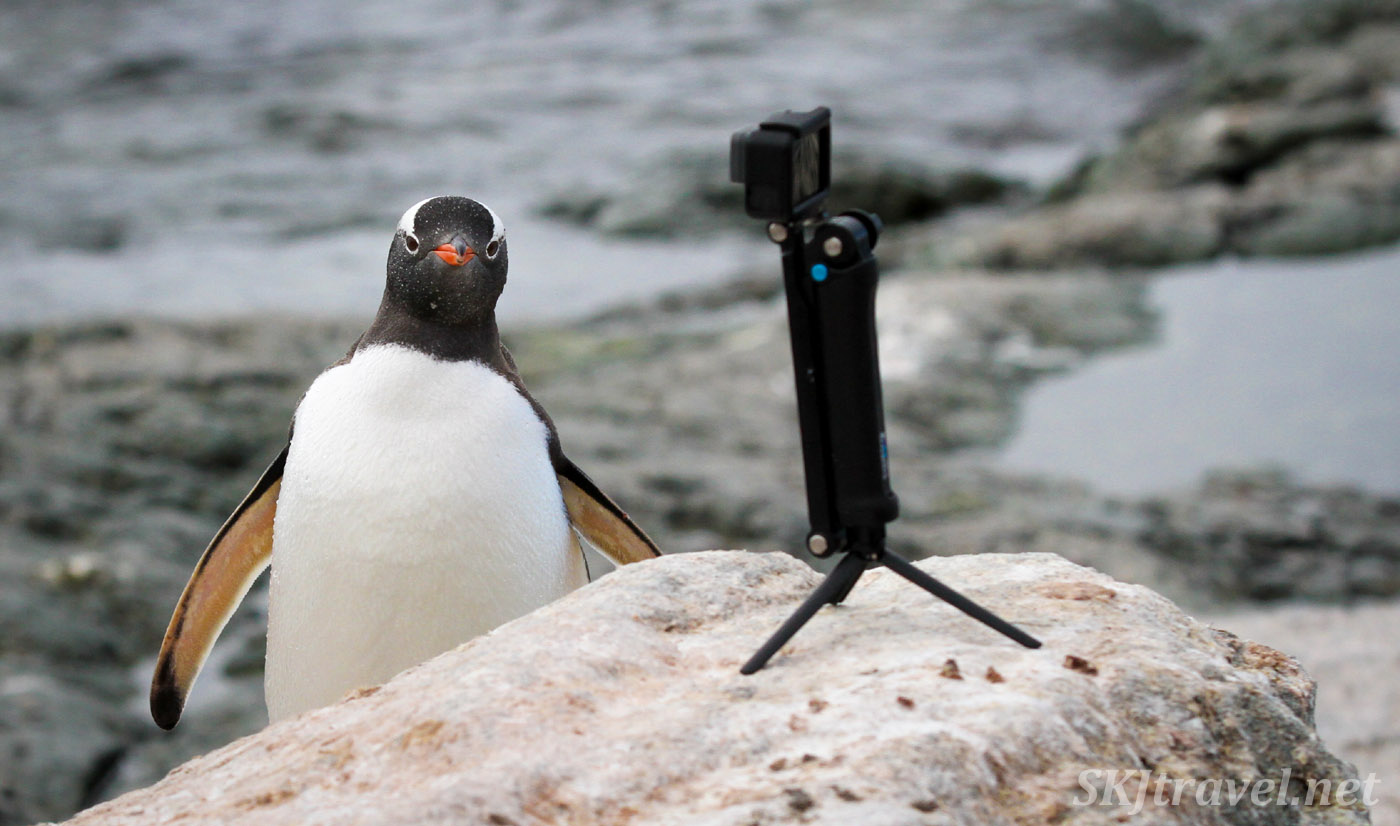 Gentoo penguin has a crush on a camera. Antarctic Peninsula. credit skjtravel.net