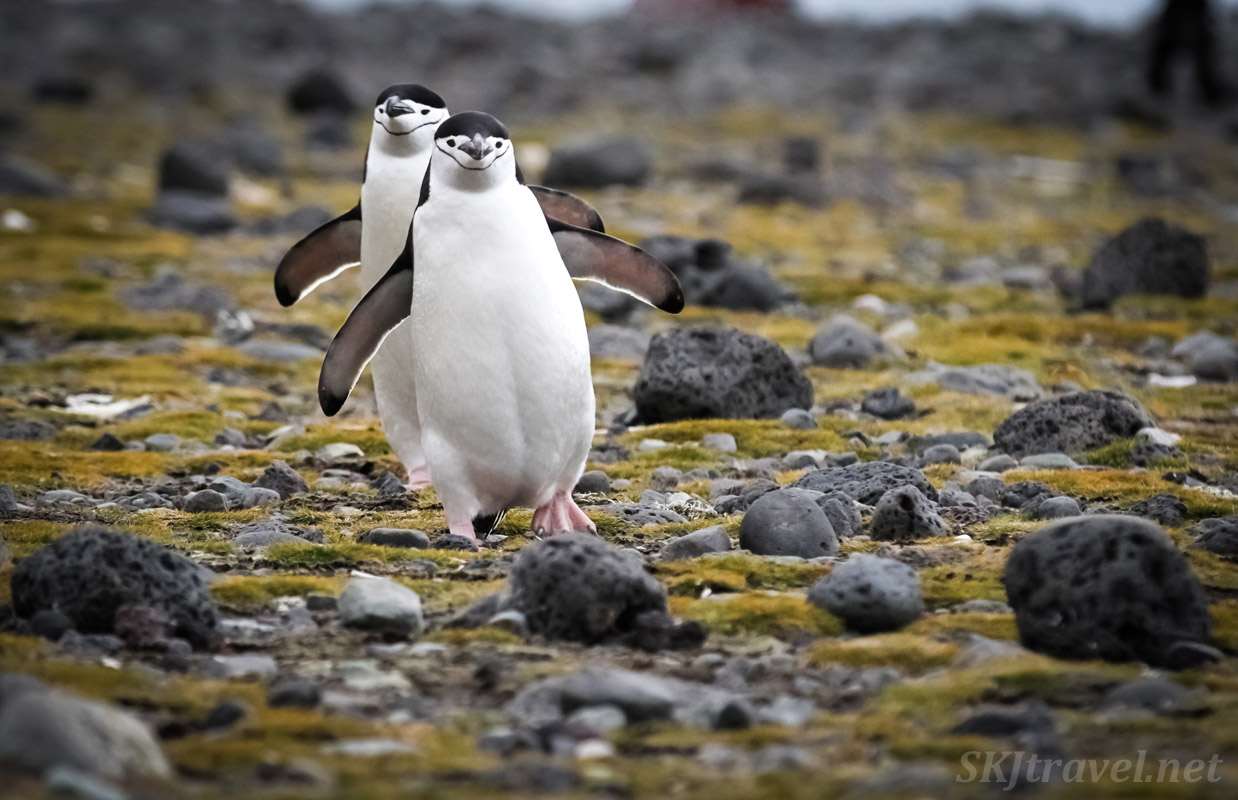 Pair of chinstrap penguins on a mission. South Shetland Islands.