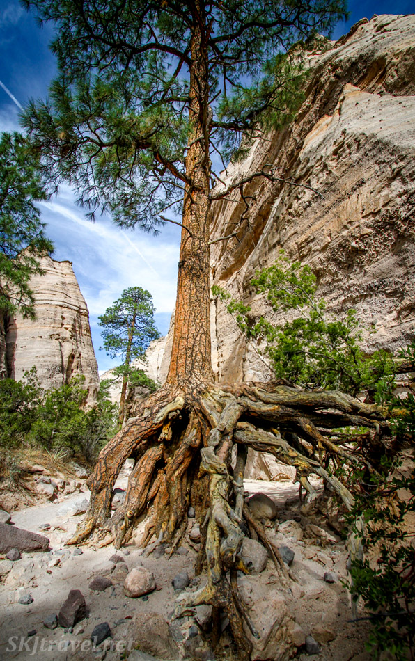 Tall tree with huge roots, Kasha-Katuwe Tent Rocks National Monument, New Mexico.