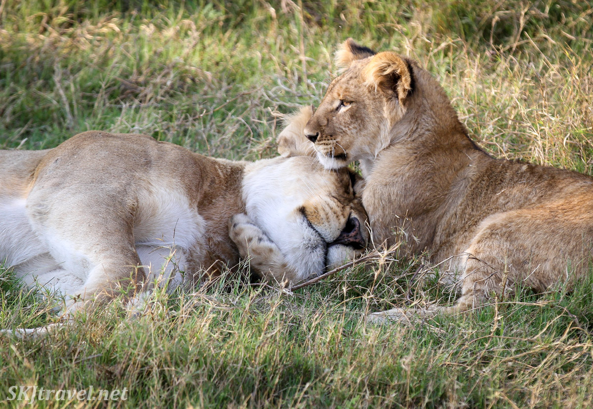 Lion cub caresses its mother, Khwai Concessions, Botswana.