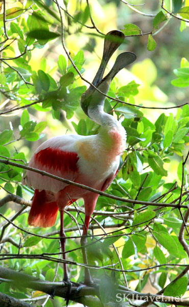 Pink and white roseate spoonbill bird with his mouth open. Popoyote Lagoon, Playa Linda, Ixtapa, Mexico.