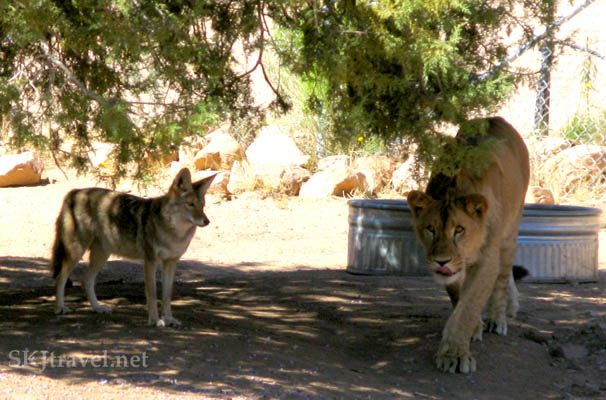 Coyote Riley and Lion Anthony together, Anthony stalking position.