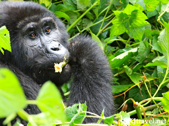 gorilla eating a flower