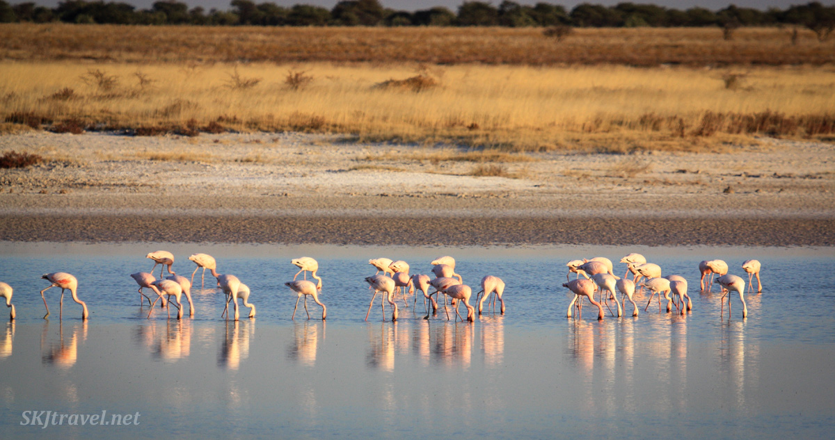 Flamingos wading in a water hole near sunset, Etosha National Park, Namibia.