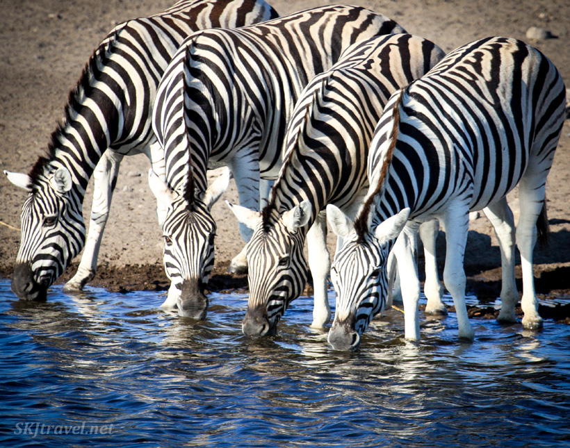 Four zebras at a water hole in Etosha national park, Namibia. One of them has spotted me!