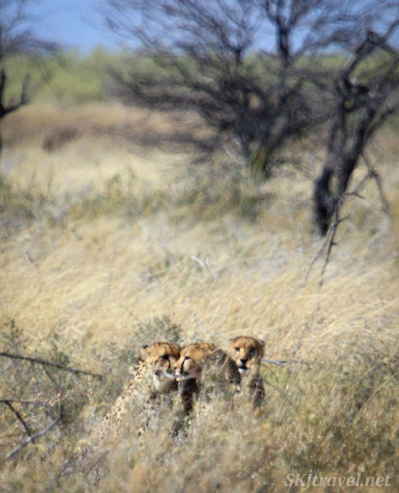 Three cheetahs in the tall grass finishing up a meal, Etosha National Park, Namibia.