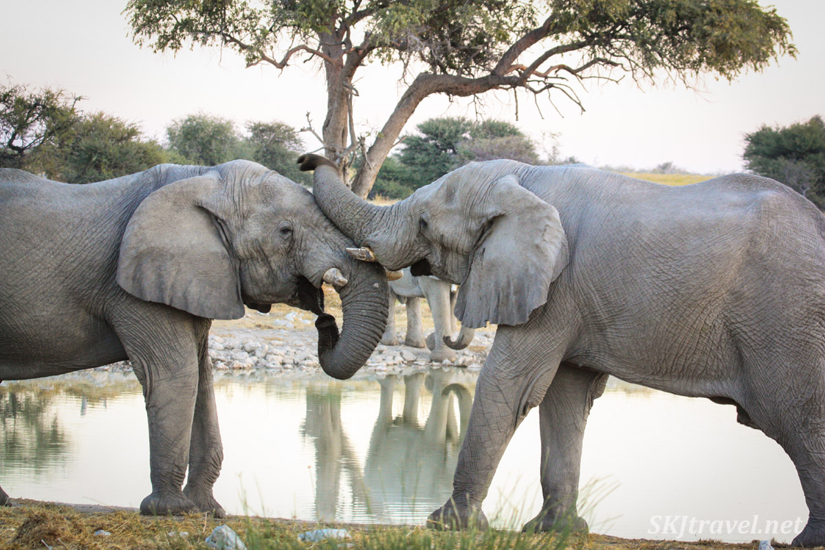 Two young male elephants gently sparring at a water hole in Etosha National Park, Namibia.