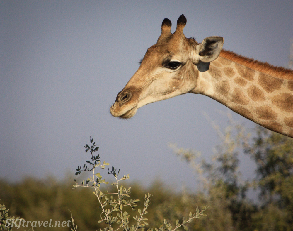 Giraffe reaching into the frame for a nibble of acacia. Etosha national park, Namibia.