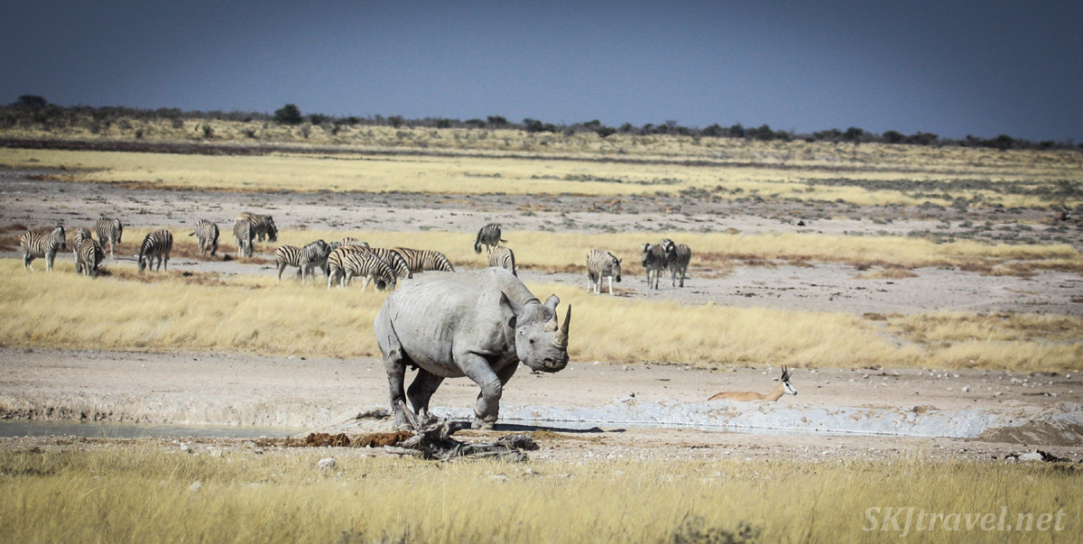 Black rhino walking among other animals on the plains of Etosha national park, Namibia.